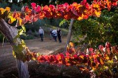 蒙泰斯库达伊奥,比萨,意大利- 2017年10月19日-葡萄园秋天l 库存图片