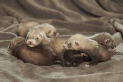 蒙蔽灰色背景的三个几星期年纪白鼬婴孩 免版税库存图片