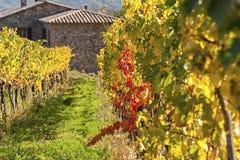 蒙达奇诺- TUSCANY/ITALY :2016年10月31日:蒙达奇诺乡下、葡萄园、柏树和绿色领域 图库摄影