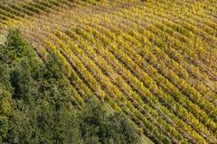 蒙达奇诺- TUSCANY/ITALY :2016年10月31日:蒙达奇诺乡下、葡萄园、柏树和绿色领域 库存图片