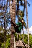 蒙巴萨,肯尼亚- 1月07日:人爬树收集coconu 免版税库存图片