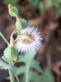 蒲公英与一些blosoms的花种子 库存图片