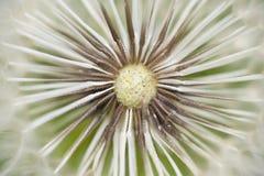 蒲公英准备好种子的盖帽飞行, 免版税图库摄影