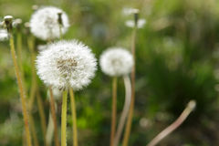 蒲公英和杂草在春天 免版税库存照片