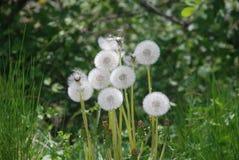 蒲公英在一个草甸在Bucovina,罗马尼亚 库存照片