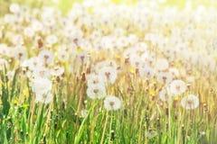 蒲公英在太阳下的花田软的焦点发出光线 免版税图库摄影