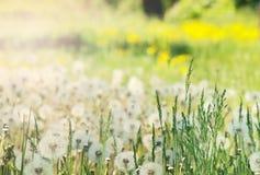 蒲公英在太阳下的花田软的焦点发出光线 免版税库存图片