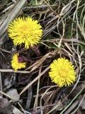 蒲公英在春天,在干草中 库存图片
