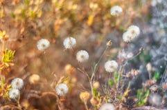 蒲公英在春天 免版税图库摄影
