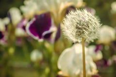 蒲公英在草坪的其他植物中 免版税库存照片