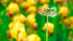 蒲公英在草坪的其他植物中 免版税库存图片
