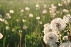 蒲公英在草甸在春天 库存照片