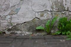 蒲公英在破裂的被回报的墙壁旁边发芽生长在路面镇压之间 免版税库存照片