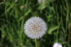 蒲公英开了花与等待白色的种子得到blowned 免版税库存图片
