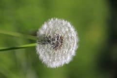蒲公英开了花与等待白色的种子得到blowned 免版税库存照片
