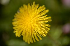 蒲公英开花花在我的庭院里 库存照片