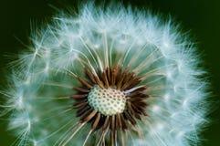 蒲公英或絮球 大下落绿色叶子宏观摄影水 图库摄影