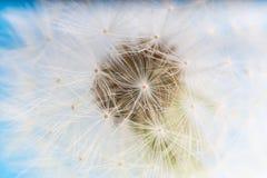蒲公英抽象蓝色背景 浅深度的域 免版税库存照片