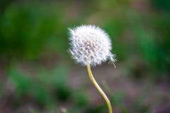 蒲公英播种吹横跨新绿色背景 免版税库存照片