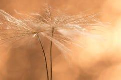 蒲公英播种在金黄的特写镜头 蒲公英的美好的宏指令 免版税库存图片