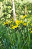 蒲公英明亮的花在一块晴朗的森林沼地的 免版税库存图片