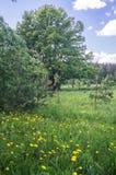 蒲公英明亮的花在一块晴朗的森林沼地的 库存图片