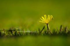 蒲公英有自然绿色背景 库存图片
