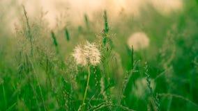 蒲公英有被弄脏的草背景 免版税图库摄影