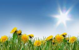 蒲公英梦想的充分的草甸春天 图库摄影