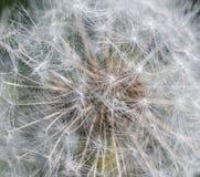 蒲公英特写镜头在自然背景的 免版税库存照片