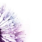 蒲公英用水滴下-上色在白色的剪影 库存照片