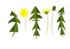 蒲公英的传染媒介元素 分开叶子、花和芽 创造您的夏天例证 库存例证