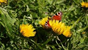 从蒲公英的美丽的孔雀铗蝶采摘花蜜-类Inachi 影视素材