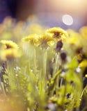 蒲公英的黄色花 库存照片