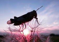 蒲公英种子和蚂蚱 蚂蚱和日出 免版税图库摄影