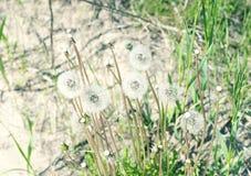 蒲公英种子在沙子增长 免版税库存图片
