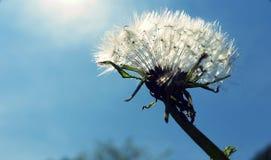 蒲公英种子在阳光下 库存图片