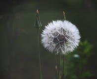 蒲公英种子在阳光下 免版税图库摄影
