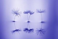 蒲公英种子在水中与反射 宏指令用蒲公英 库存图片