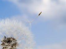 蒲公英种子的库存宏观照片。 免版税图库摄影