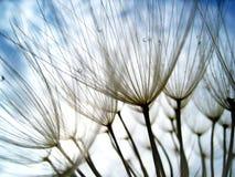 蒲公英种子(45),与微小的景深 免版税库存照片