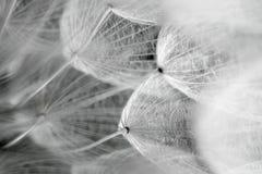 蒲公英种子 免版税库存照片