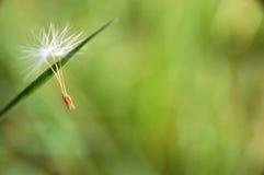 蒲公英种子 库存图片
