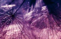 蒲公英花克洛的蓬松种子的自然背景 图库摄影