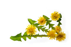 蒲公英花和叶子 免版税库存照片
