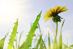 蒲公英花和新鲜的绿草与露滴在草甸 免版税库存图片
