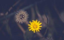 蒲公英花和种子球 免版税图库摄影