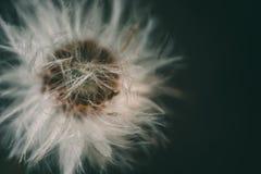 蒲公英花在庭院里 库存图片