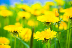蒲公英花在春天草甸增长 库存图片