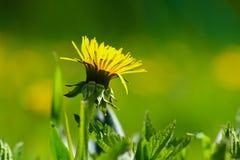 蒲公英花在草甸 免版税图库摄影